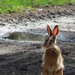 zajac-wielkanocny
